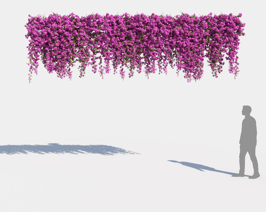 Climbing Bougainvillea Collection 2 (+GrowFX) royalty-free 3d model - Preview no. 8