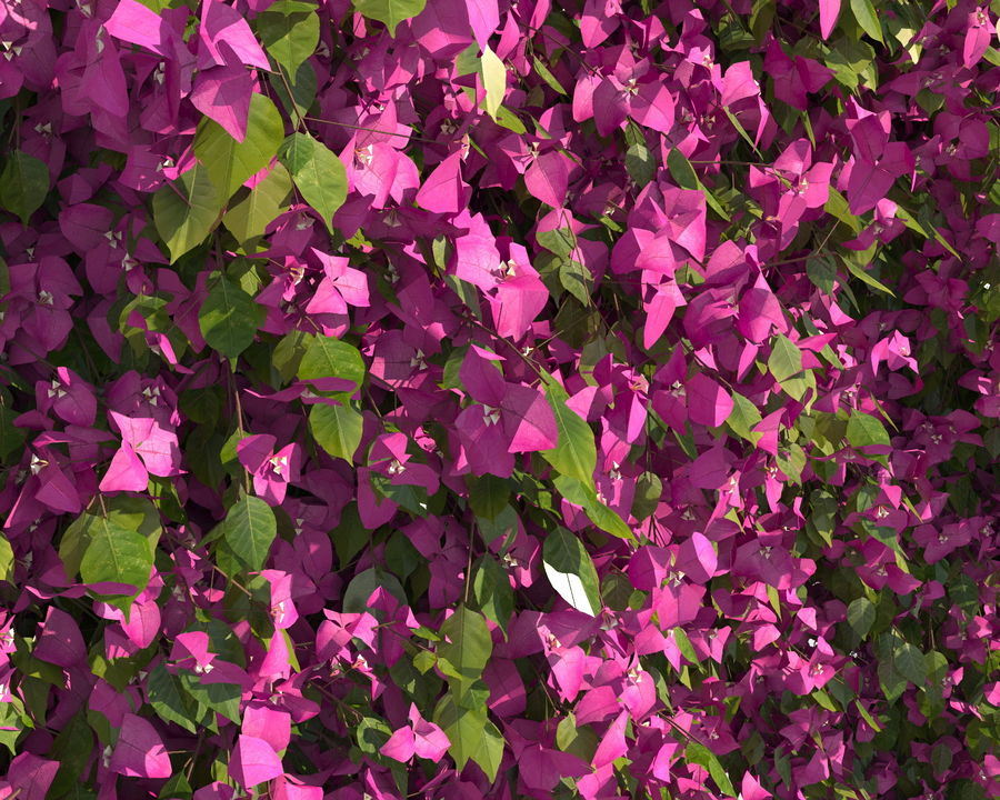 Climbing Bougainvillea Collection (+GrowFx) royalty-free 3d model - Preview no. 4