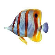 Peixe borboleta 3d model
