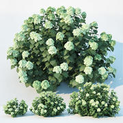 Hydrangea arborescens, 3 sizes 3d model