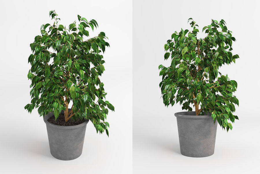 Benjamin Fig Trees & Plants royalty-free 3d model - Preview no. 7