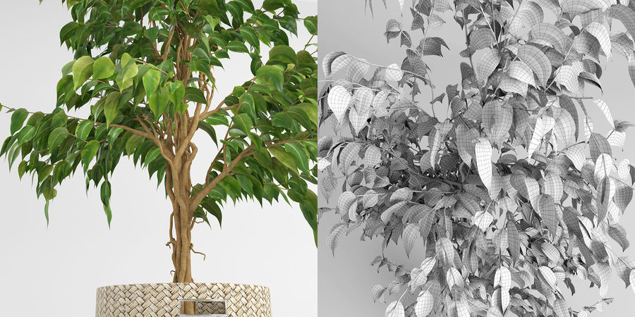 Benjamin Fig Trees (+GrowFX) royalty-free 3d model - Preview no. 6