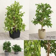 Benjamin Fig Trees (+ GrowFX) 3d model