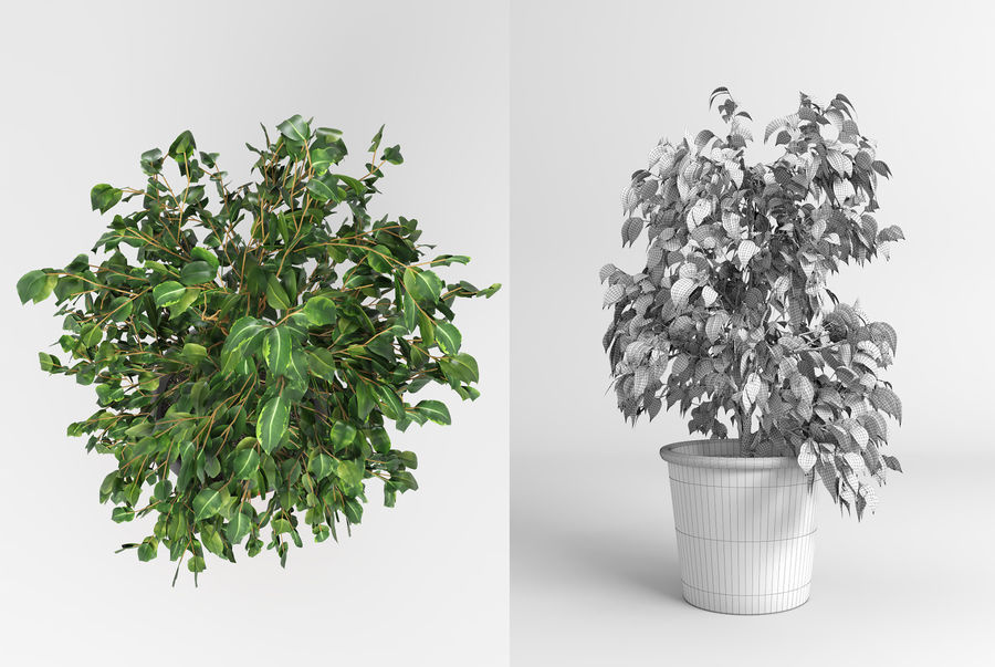 Benjamin Fig Trees (+GrowFX) royalty-free 3d model - Preview no. 8