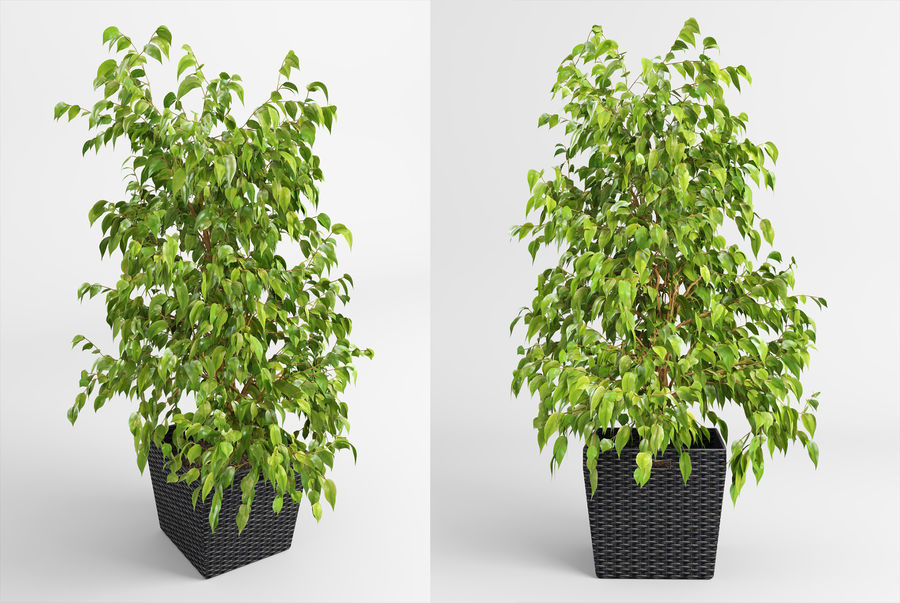Benjamin Fig Trees (+GrowFX) royalty-free 3d model - Preview no. 2