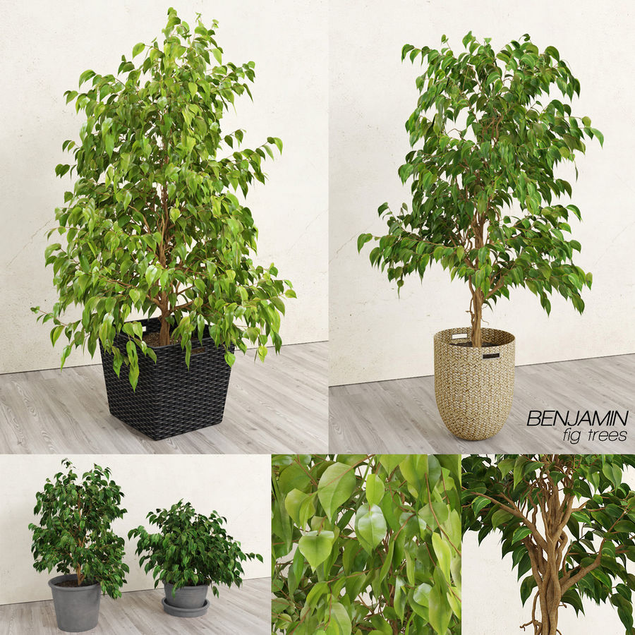 Benjamin Fig Trees (+GrowFX) royalty-free 3d model - Preview no. 1