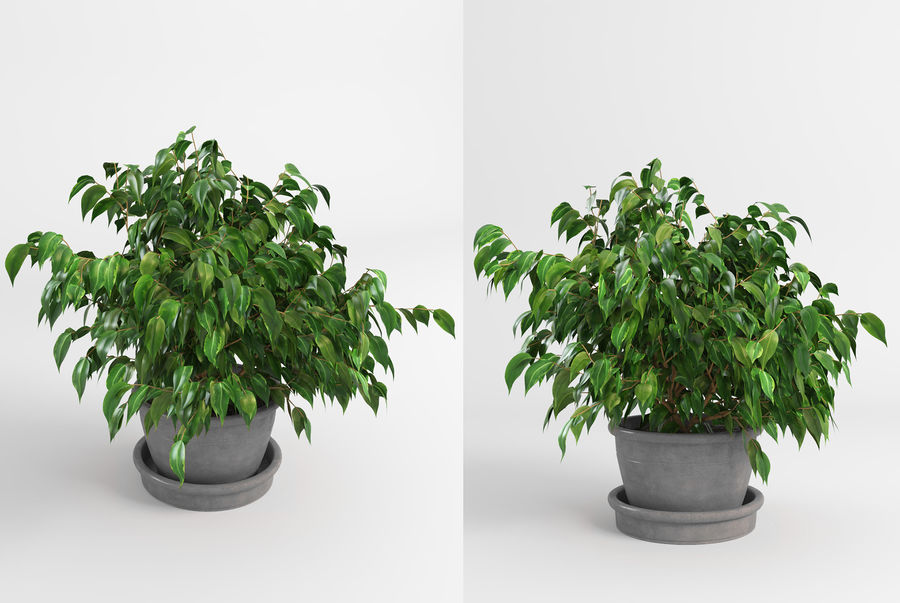 Benjamin Fig Trees (+GrowFX) royalty-free 3d model - Preview no. 9