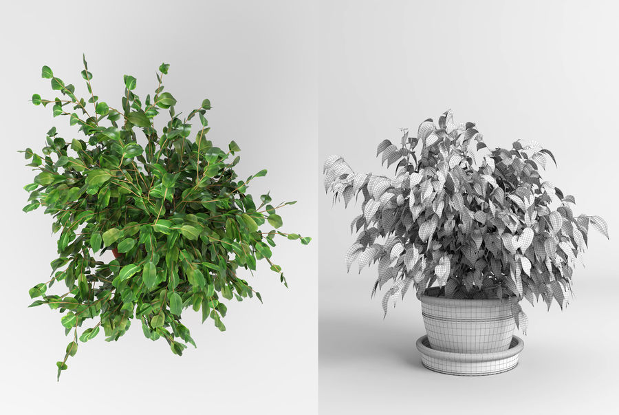 Benjamin Fig Trees (+GrowFX) royalty-free 3d model - Preview no. 10