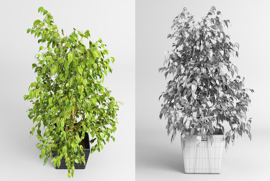 Benjamin Fig Trees (+GrowFX) royalty-free 3d model - Preview no. 3