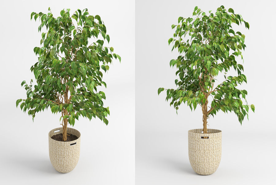 Benjamin Fig Trees (+GrowFX) royalty-free 3d model - Preview no. 4