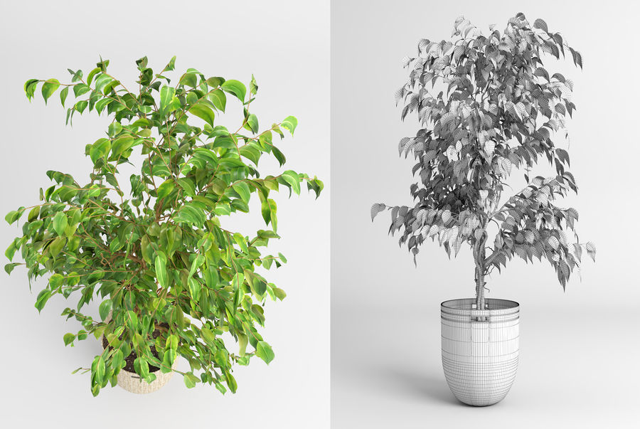 Benjamin Fig Trees & Plants royalty-free 3d model - Preview no. 5