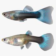 Guppy mâle et femelle 3d model