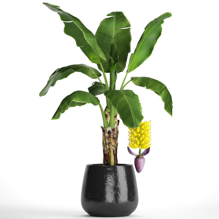 Palma de plátano con fruta de plátano royalty-free modelo 3d - Preview no. 2