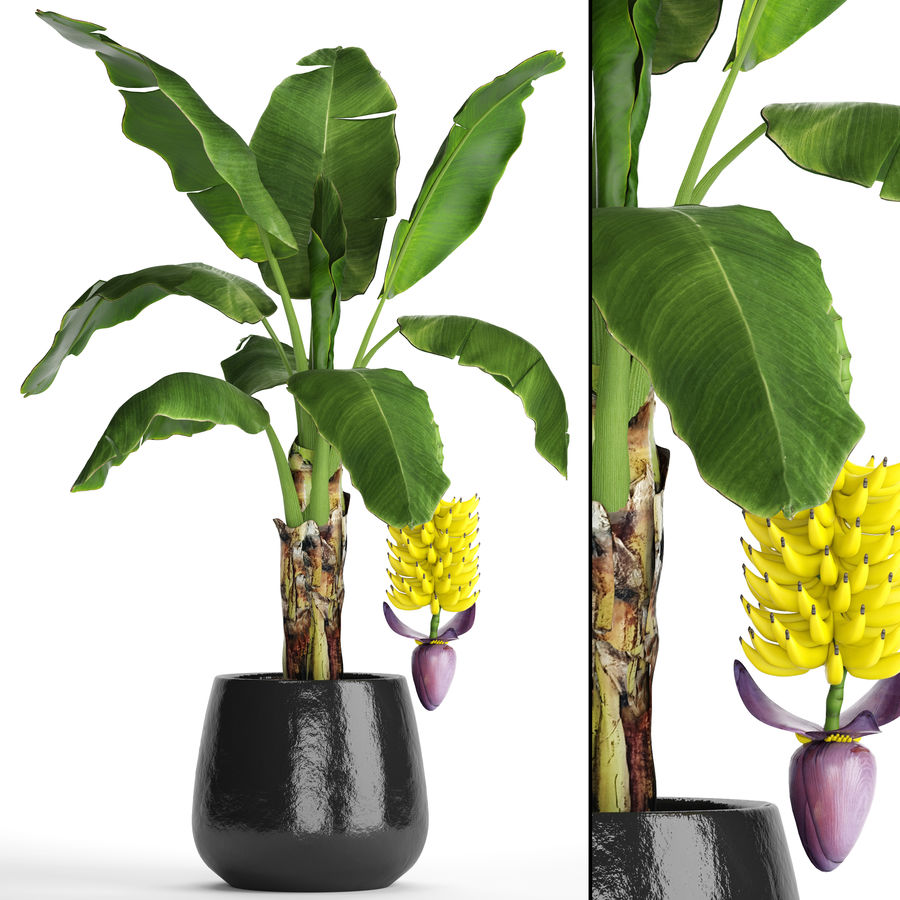 Palma de plátano con fruta de plátano royalty-free modelo 3d - Preview no. 1