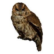 Tawny Owl perched (taxidermy) 3d model