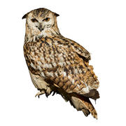 Eagle Owl - perché (taxidermie) 3d model