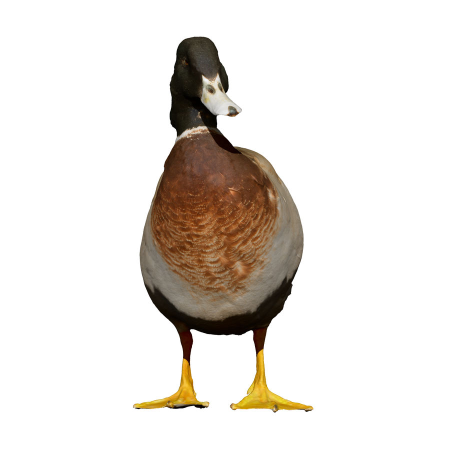 Canard debout (taxidermie) royalty-free 3d model - Preview no. 4