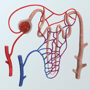 Realistic Nephron Anatomy 3d model