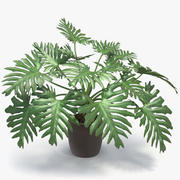 Philodendron Selloum In Pot 3d model