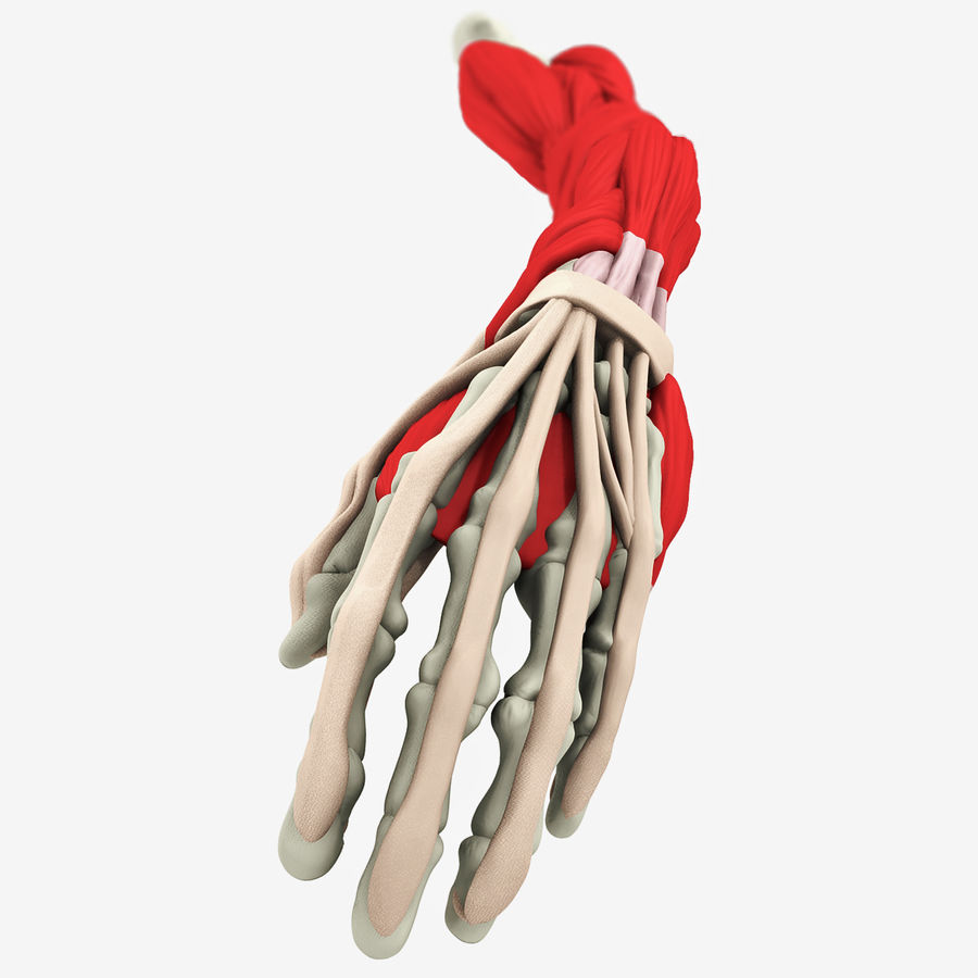Human Arm Anatomy royalty-free 3d model - Preview no. 5
