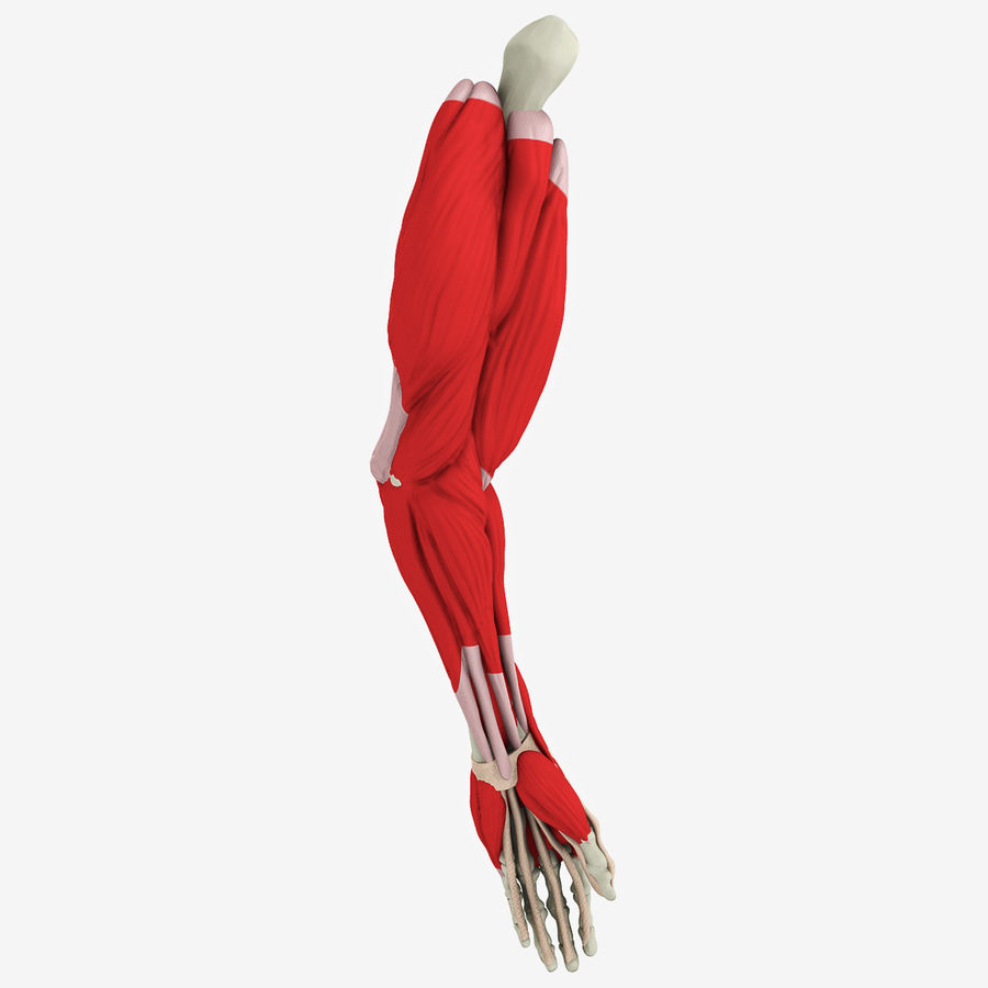 Human Arm Anatomy royalty-free 3d model - Preview no. 2