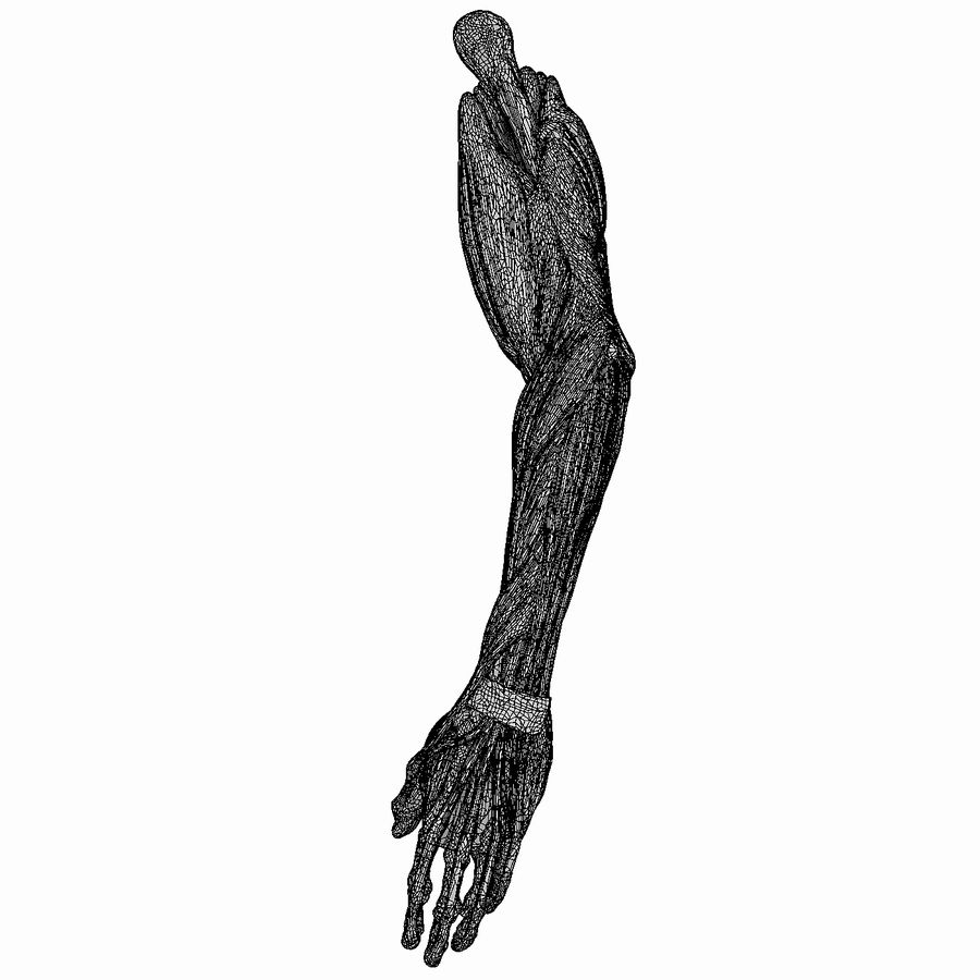 Human Arm Anatomy royalty-free 3d model - Preview no. 7