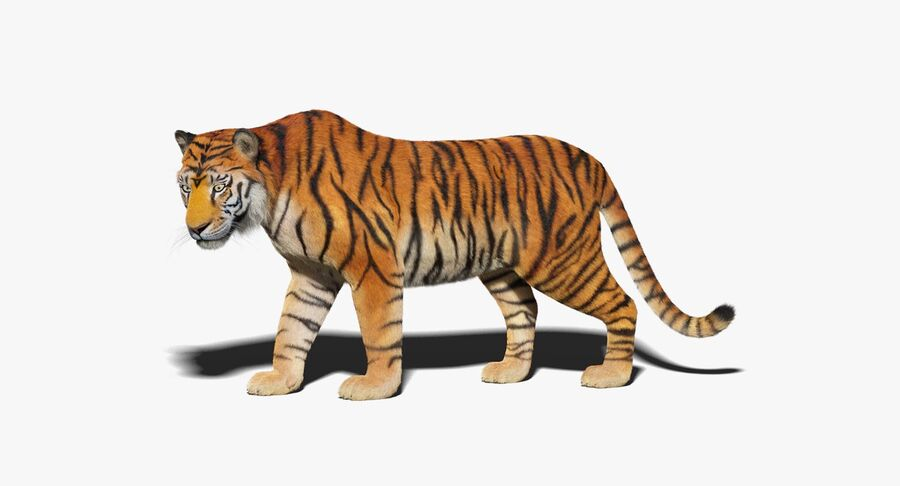 Animado de tigre (pele) royalty-free 3d model - Preview no. 2
