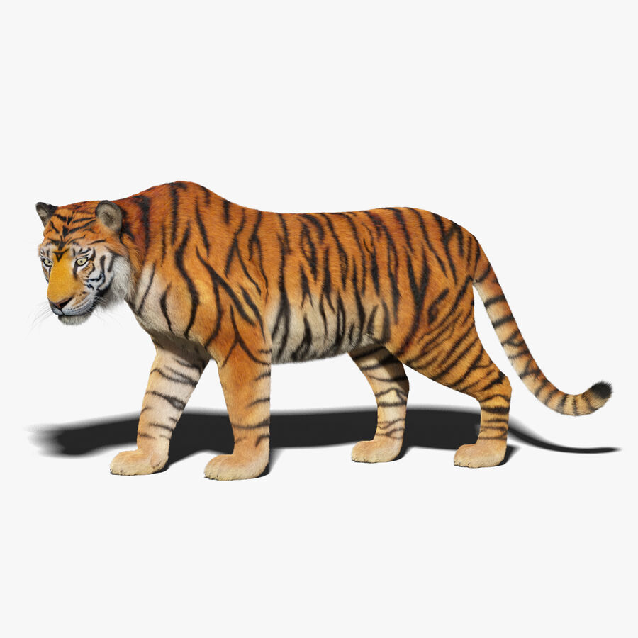 Animado de tigre (pele) royalty-free 3d model - Preview no. 1