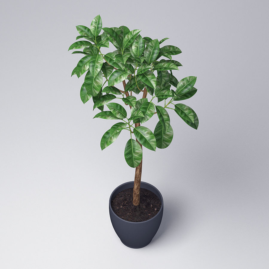 Rubber Tree Plant royalty-free 3d model - Preview no. 4