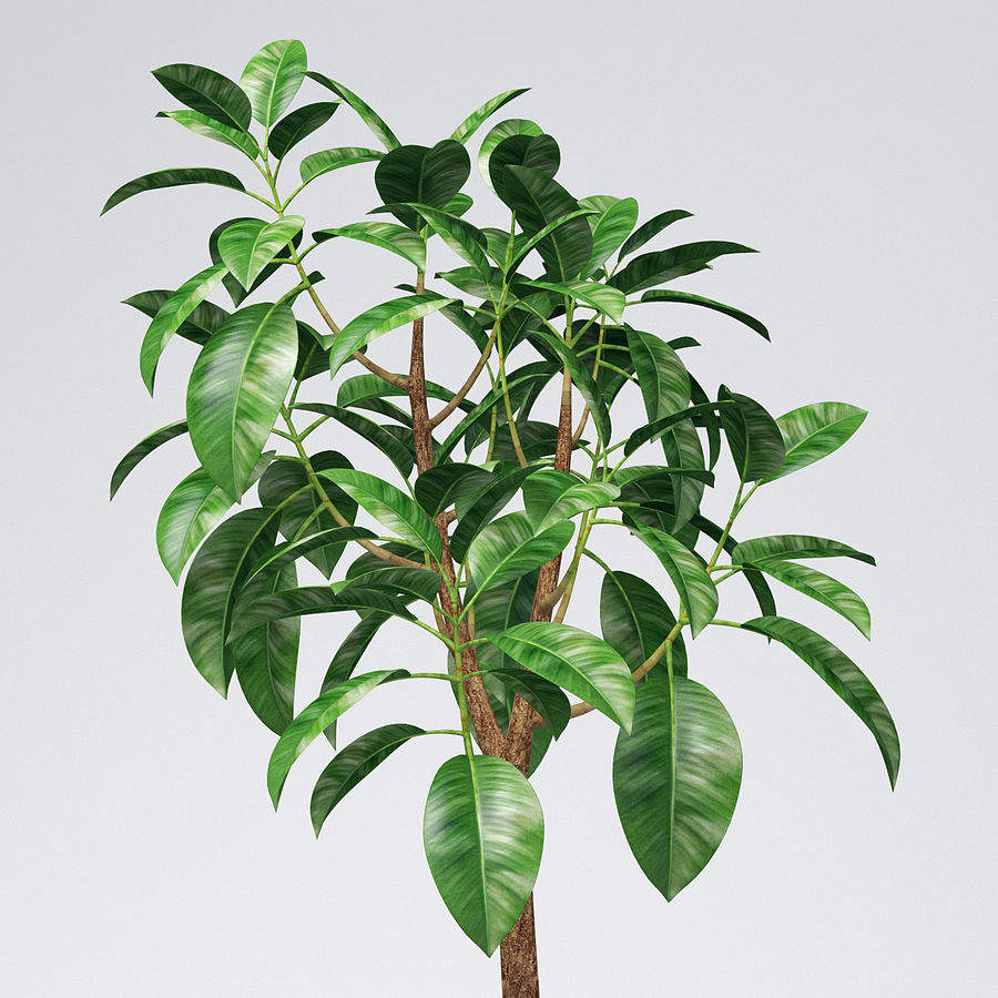 Rubber Tree Plant royalty-free 3d model - Preview no. 1
