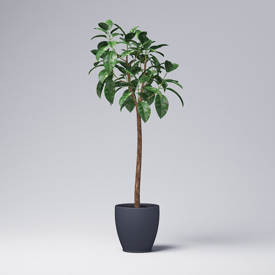 Rubber Tree Plant royalty-free 3d model - Preview no. 2