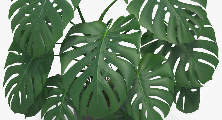 Monstera Deliciosa Plant In Pot royalty-free 3d model - Preview no. 17
