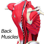 Back Muscle Textured 3d model