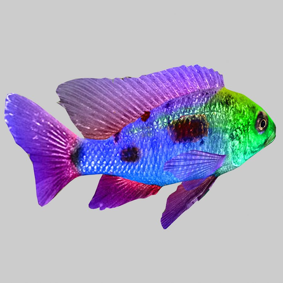 Aquarium Fish Collection Low Poly royalty-free 3d model - Preview no. 36