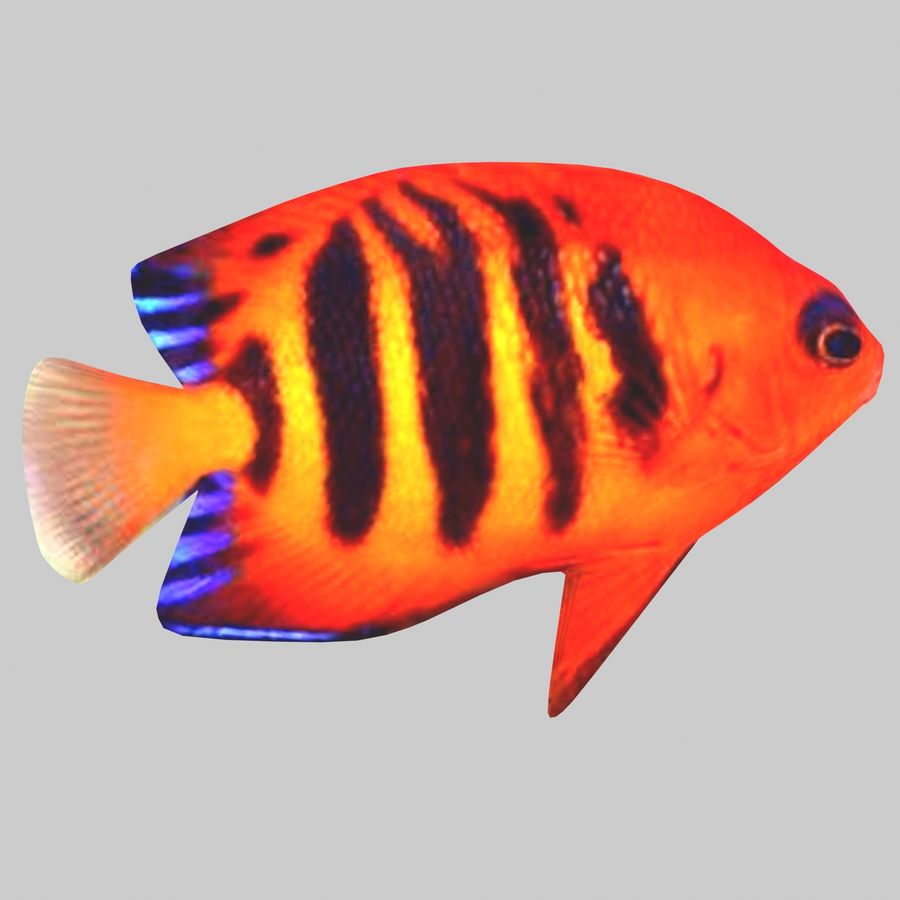 Aquarium Fish Collection Low Poly royalty-free 3d model - Preview no. 23