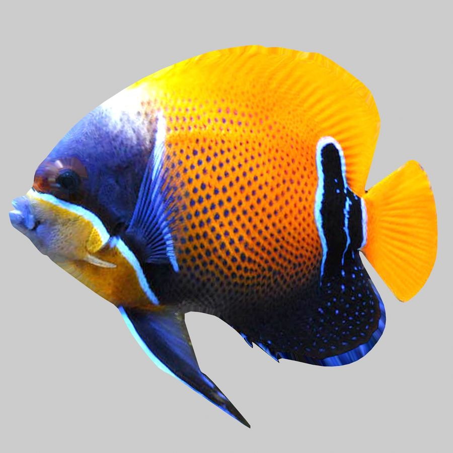 Aquarium Fish Collection Low Poly royalty-free 3d model - Preview no. 18