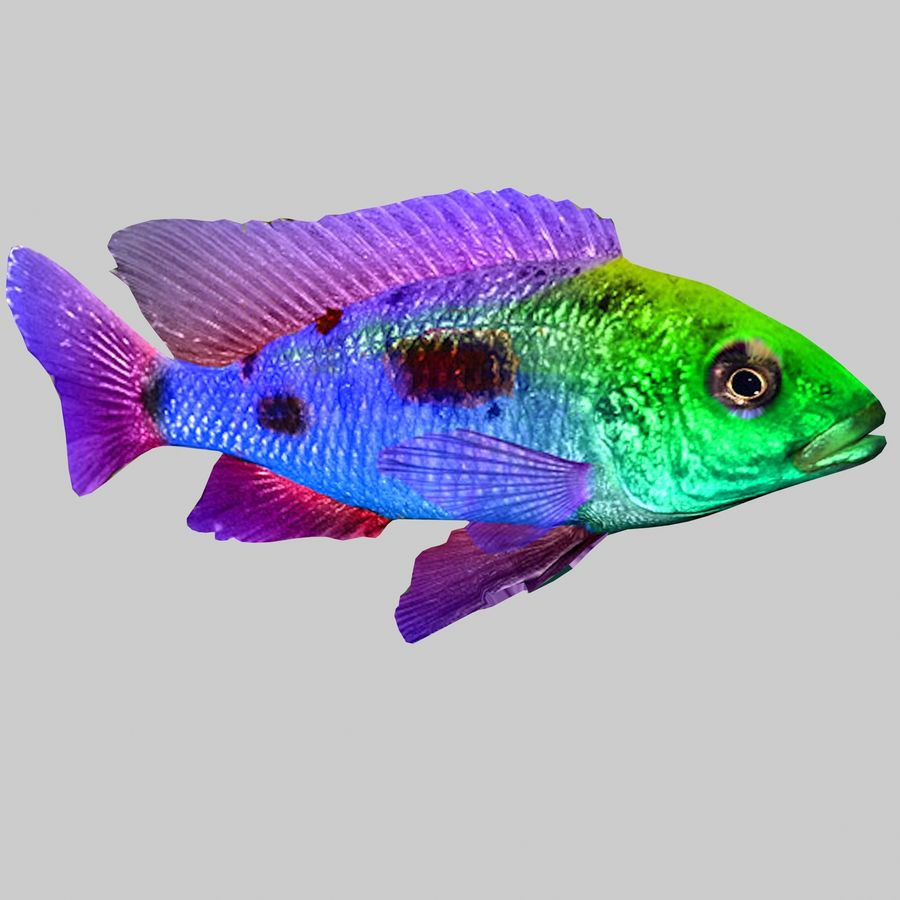 Aquarium Fish Collection Low Poly royalty-free 3d model - Preview no. 3
