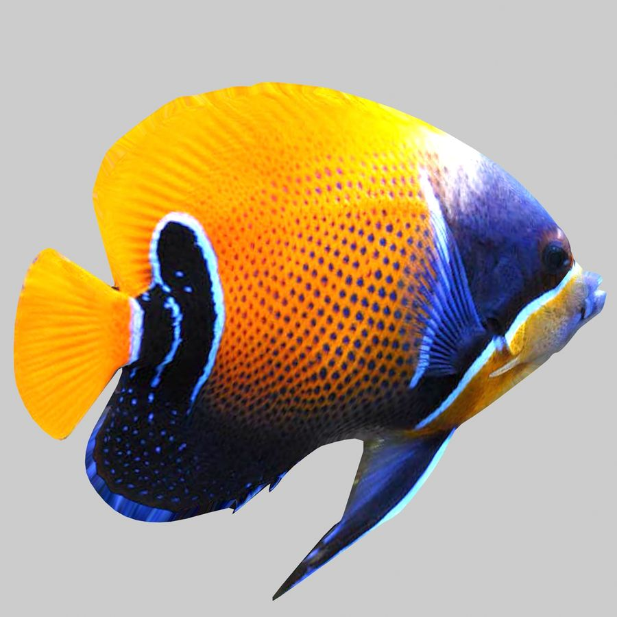Aquarium Fish Collection Low Poly royalty-free 3d model - Preview no. 17