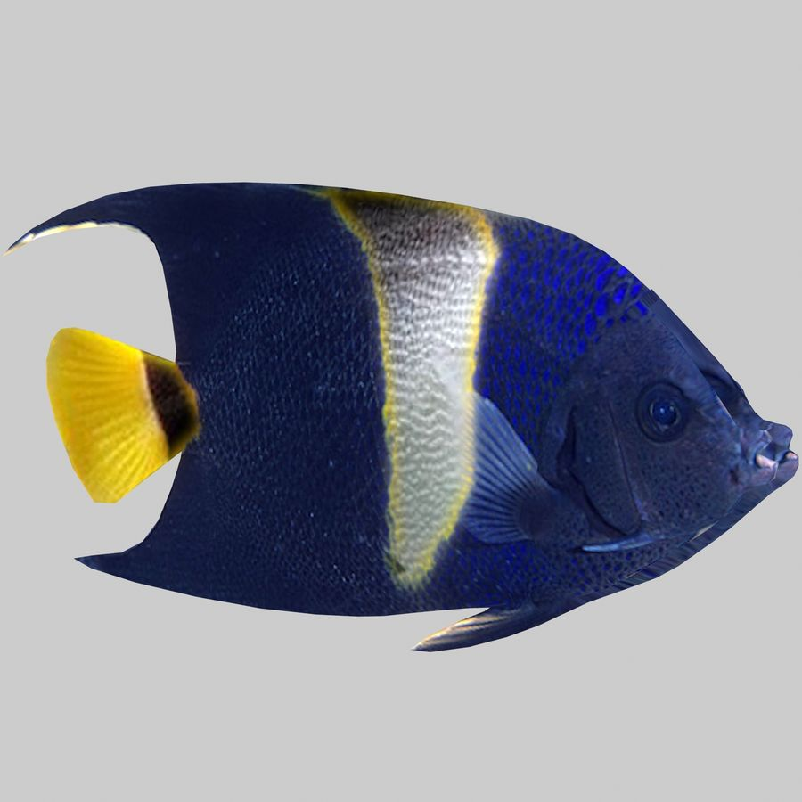 Aquarium Fish Collection Low Poly royalty-free 3d model - Preview no. 21