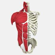 인간의 몸통 해부학 3d model