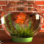 Gold Fish Aquarium Animated 3d model