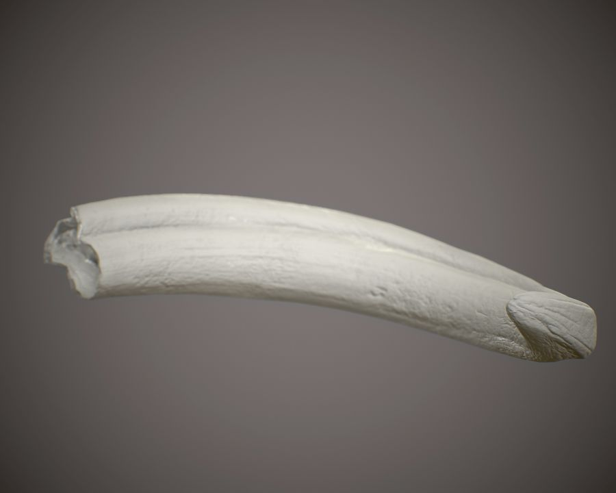 Warthog Tusk royalty-free 3d model - Preview no. 6