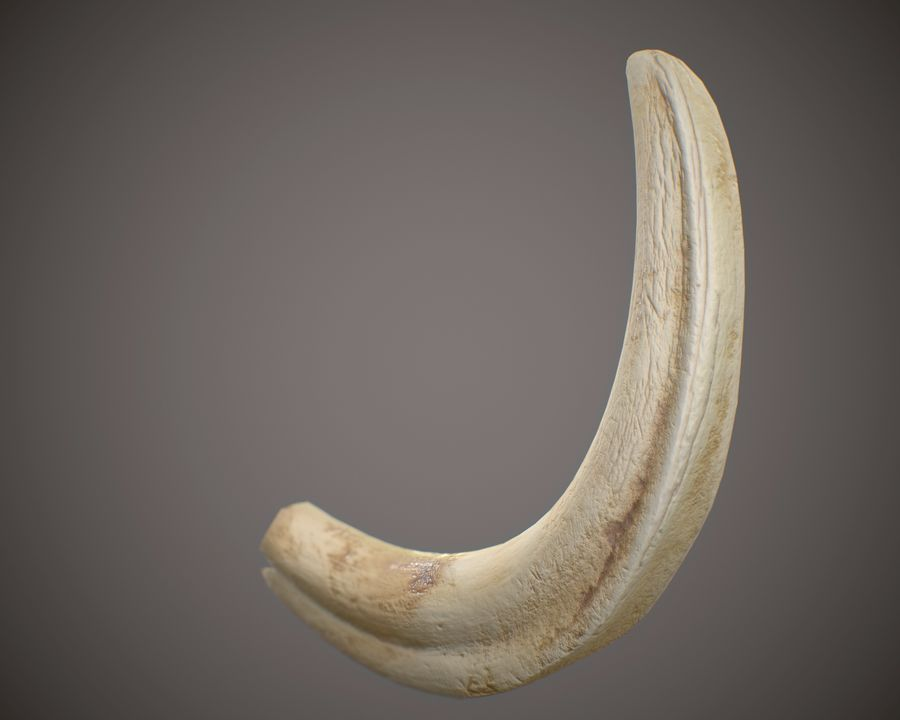 Warthog Tusk royalty-free 3d model - Preview no. 3
