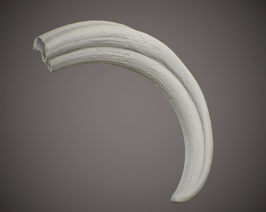 Warthog Tusk royalty-free 3d model - Preview no. 7