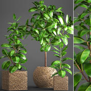 Ficus Robusta tree(1) 3d model