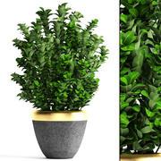 Planta em vaso Buxus sempervirens 3d model