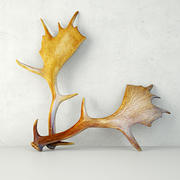 Naturally Shed Moose Antlers 3d model