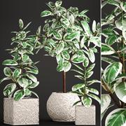 무화과 나무 Robusta 나무 3d model