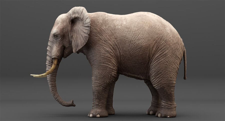Rigged Elephant royalty-free 3d model - Preview no. 5