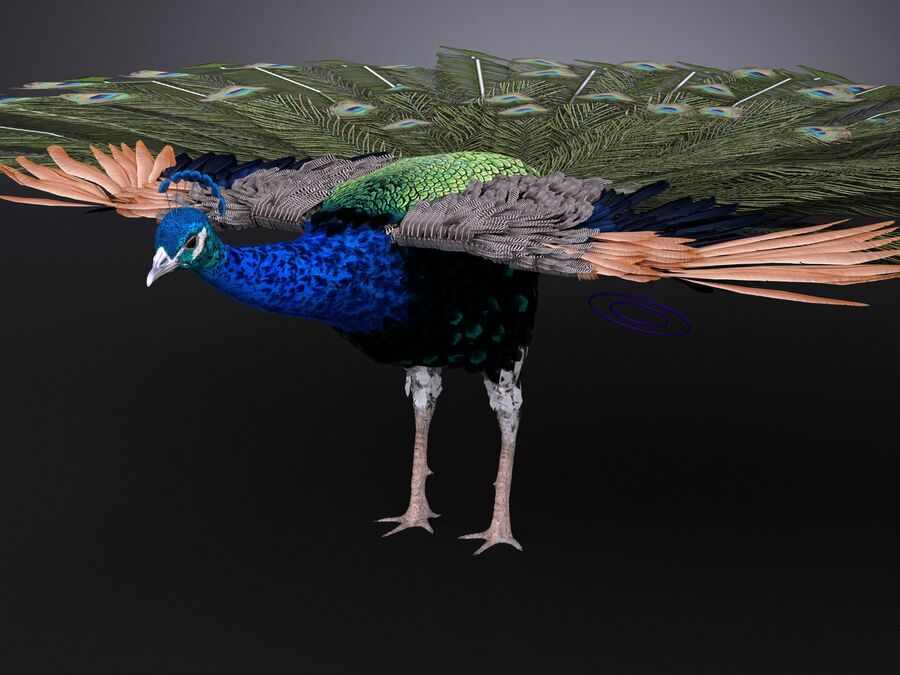 Peacock royalty-free 3d model - Preview no. 9